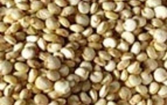 Quinoa (merlík)