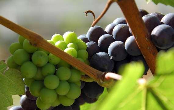 Podzim patří vínu