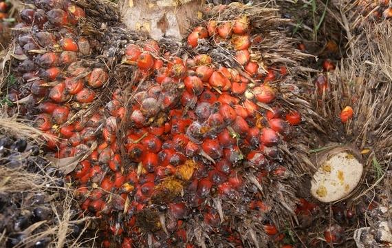 Palmový olej - pomalý zabiják