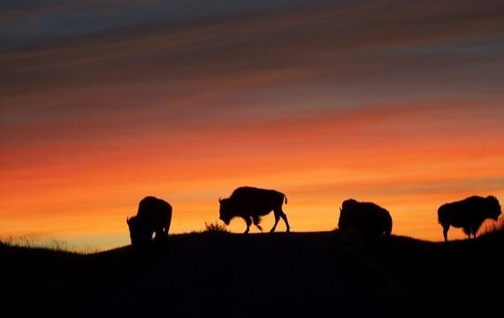 Bizoní maso patří k delikatesám