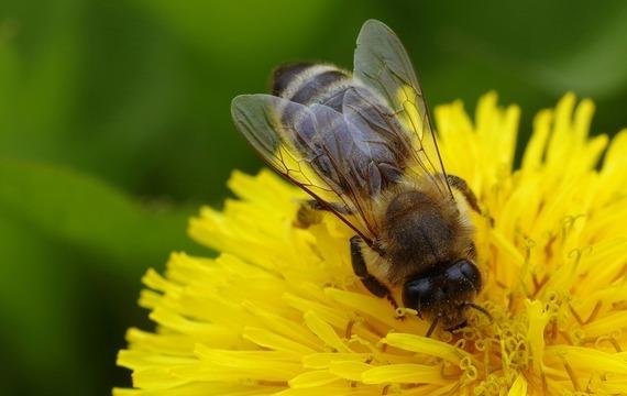 Pampeliškový med podle sonizny