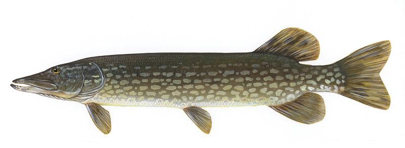 štika   sRecepty.CZ Walleye Fish
